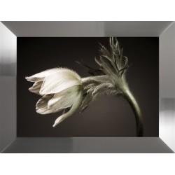 Obraz kwiat zawilec II