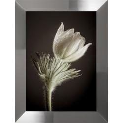 Obraz kwiat zawilec I